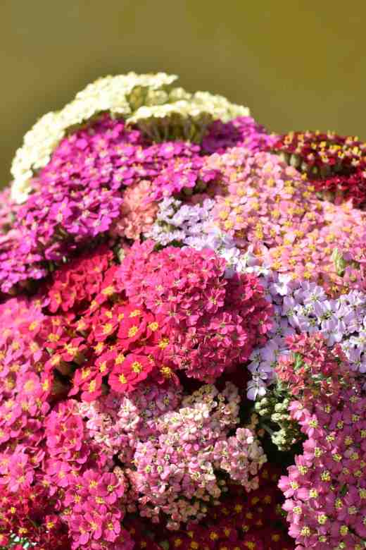 You get lots of colour for your money with the 'Flowerburst' achilleas