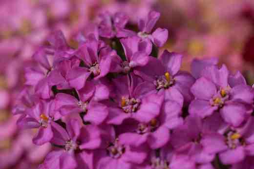 achillea flowerburst cut8