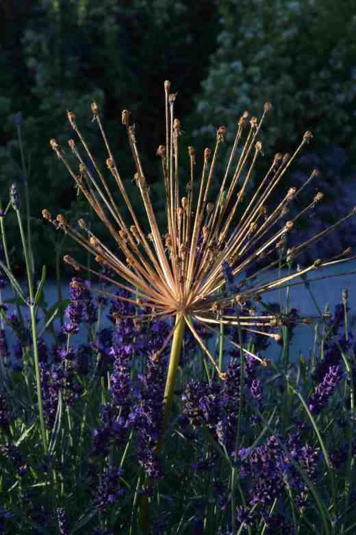 allium spider lavender