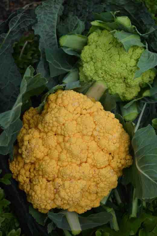 cauliflower kaleido orange2