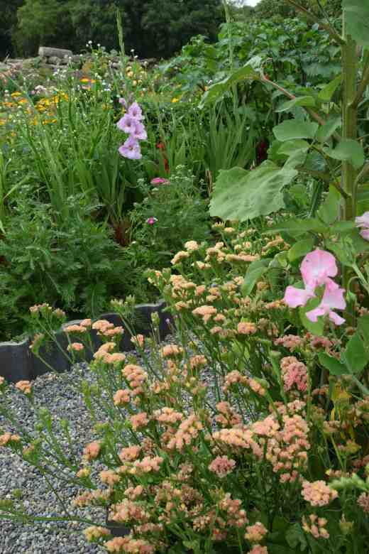 Apricot statice planted around the sweet peas with the first glad' flowering in the distance