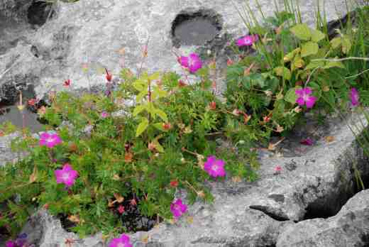 Geranium sanguineun, one of the typical flowers found in The Burren