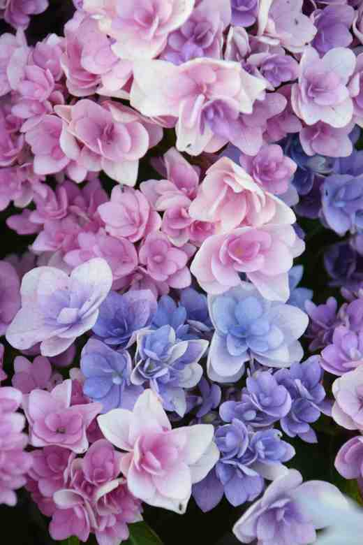 hydrangea after colourant