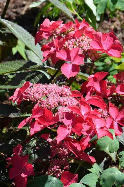 hydrangea mac selina july 143
