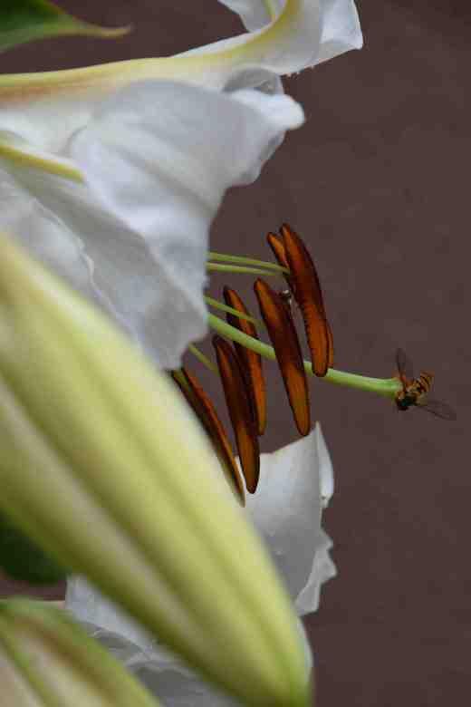 lily casablanca july 14