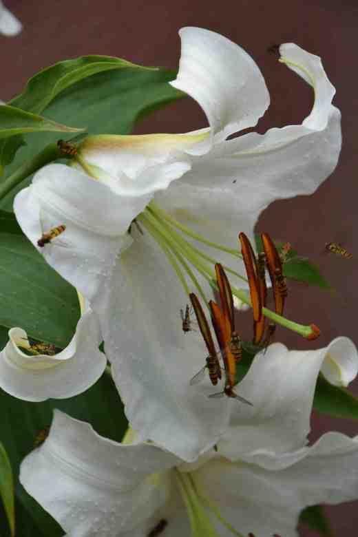 lily casablanca july 144