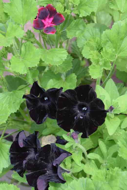 petunia black mamba