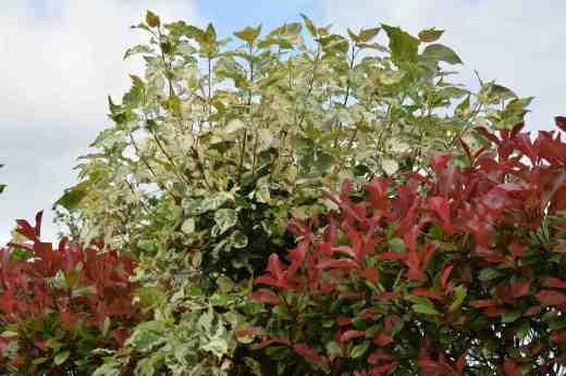 A poplar irish tree: Populus candicans 'Aurora' | The ... | 520 x 347 jpeg 23kB