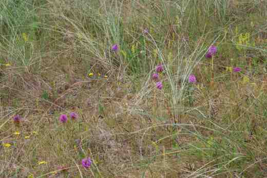 The dunes are filled with wild flowers like these pyramidal orchids (Anacamptis pyramidalis)
