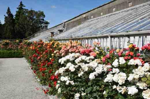 roses  powerscourt