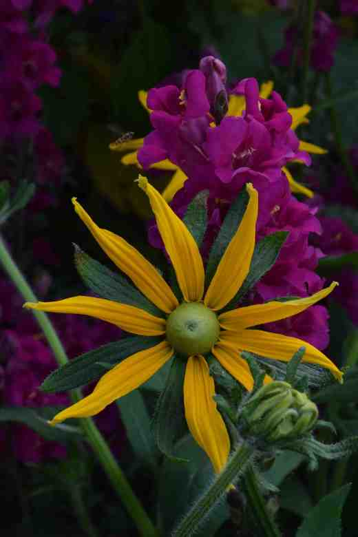 rudbeckia irish eyes2