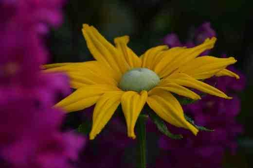 rudbeckia irish eyes3