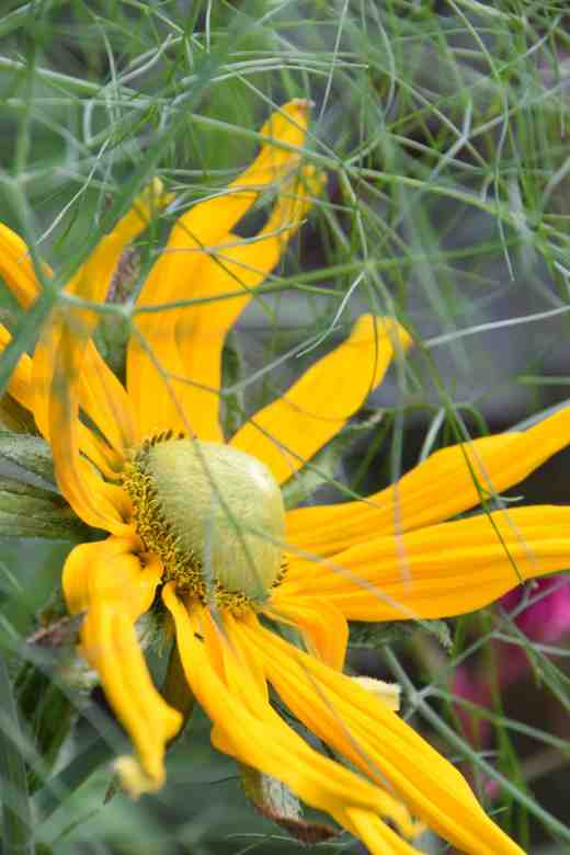 rudbeckia irish eyes4