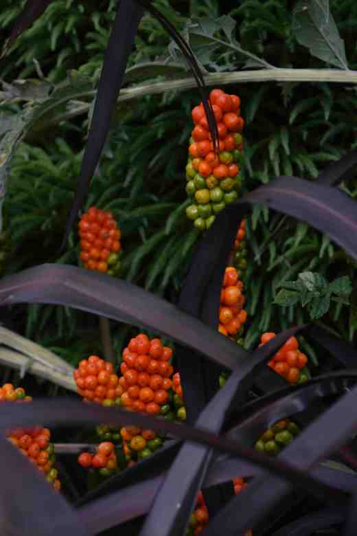 A striking contrast of dark phormium and arum berries