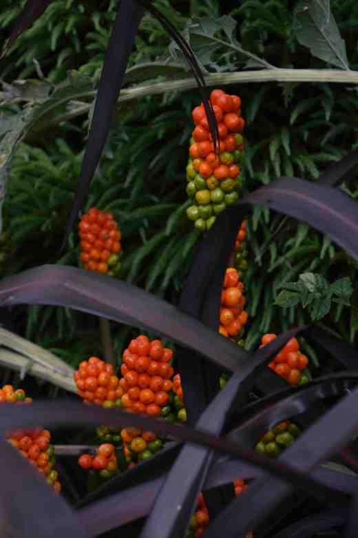 A striking contrast of dark phormium and arum berries