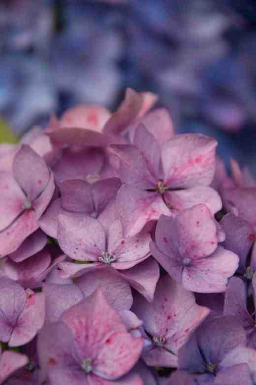 hydrangea ageing