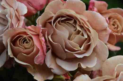 rose kokoloko
