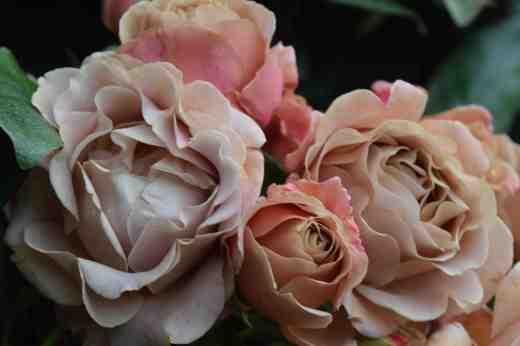 rose kokoloko2