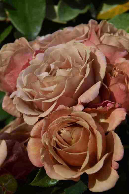 rose kokoloko3