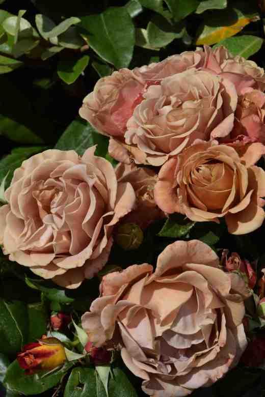 Rose 'Kokoloko'