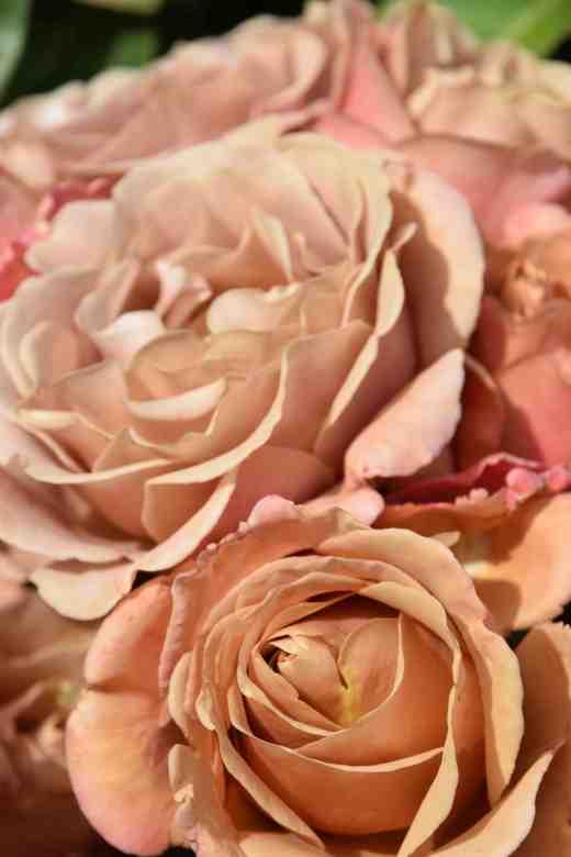 rose kokoloko6