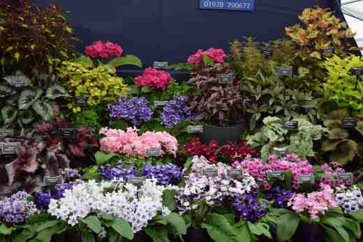 and begonias and streptocarpus from Dibleys