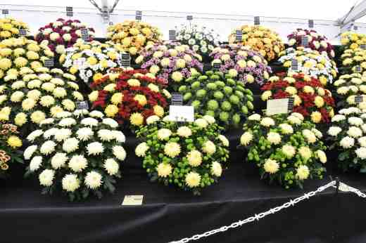 Chrysanthemums from Chrysanthemums Direct ...