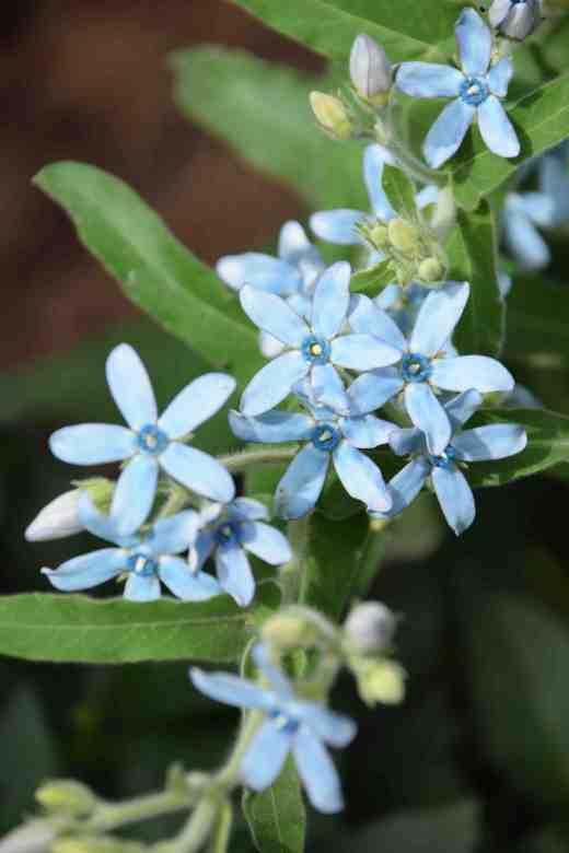 tweedia plant
