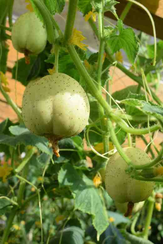 cuc rystalk apple2