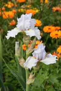 iris eternal bliss