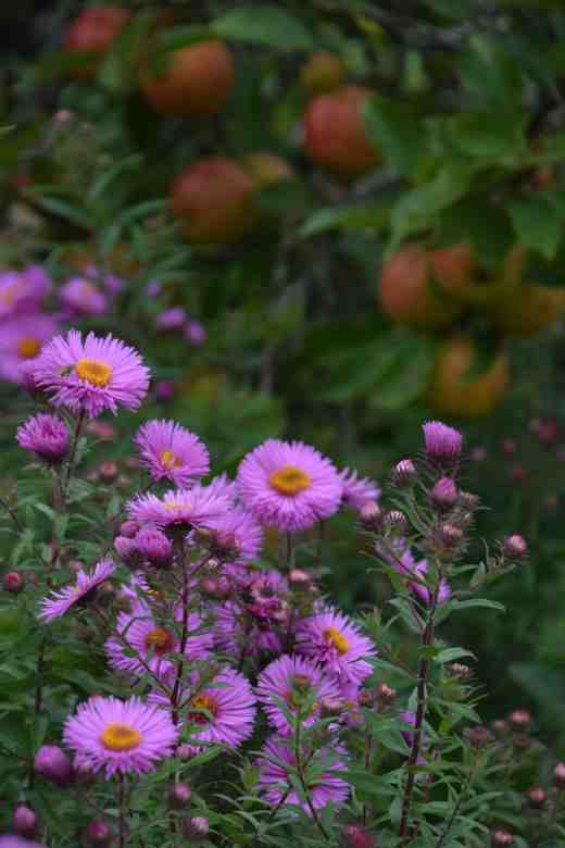 Asters - probably 'Harrington's Pink' were looking showy in front of elderly apple trees