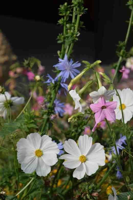 Around the cafe and shops was some interesting plating, repeated again and again. I thought this combination of white cosmos, Nicotiana mutabliis (or N. 'Marshmallow') and blue chicory was inspired