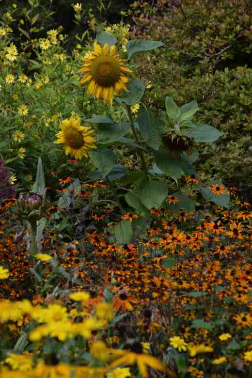 The wildflower area, which is not always totally successful, in my opinion, looked good in parts such as here with Rudbeckia triloba and sunflowers