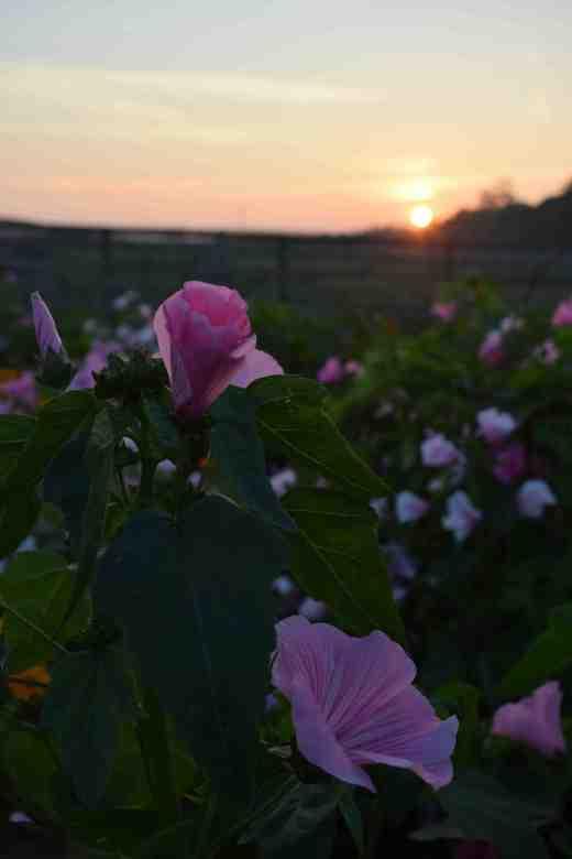 naturalised sunset3