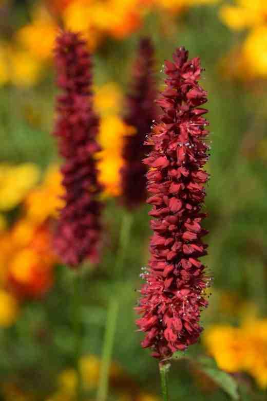 persicaria blackheath2