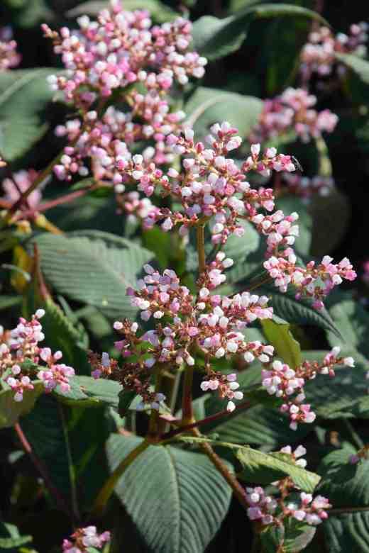 persicaria campanulata2