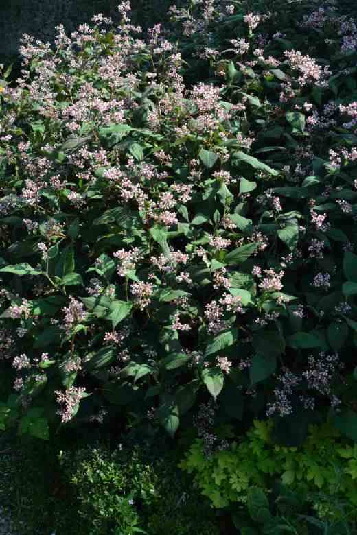 persicaria campanulata4