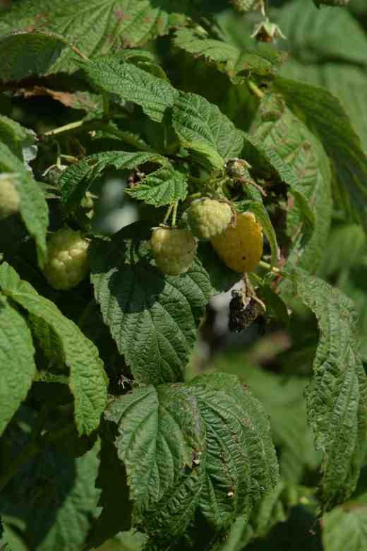 raspberry all gold4