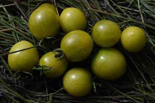 small toms green grape