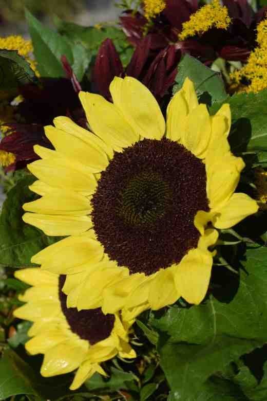 sunflower bunch3