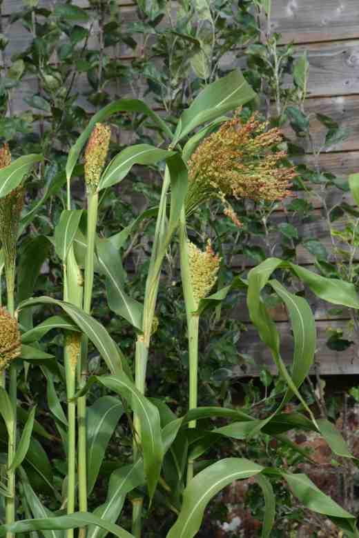 broom corn oct