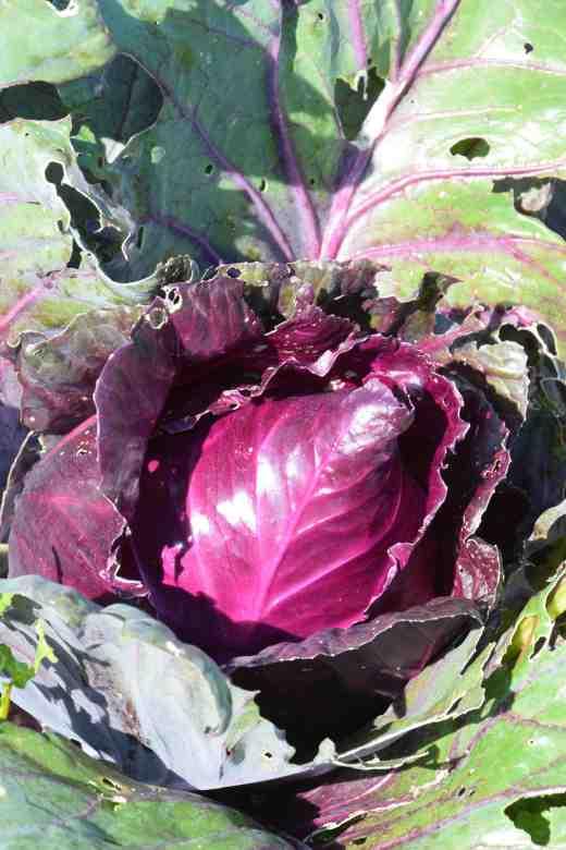 cabbage kalibos
