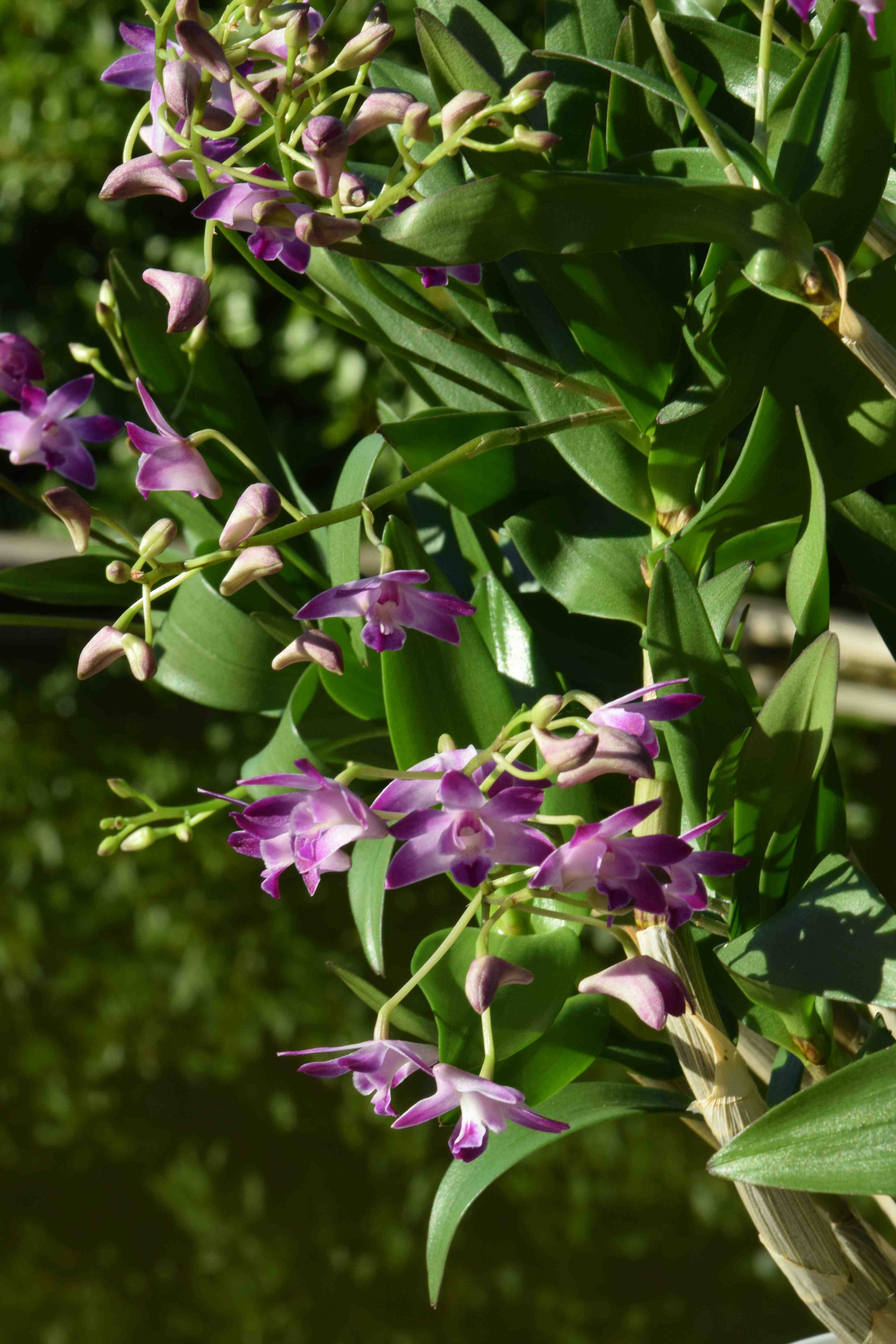 Dendrobium orchid - a plant only for professional florists 52