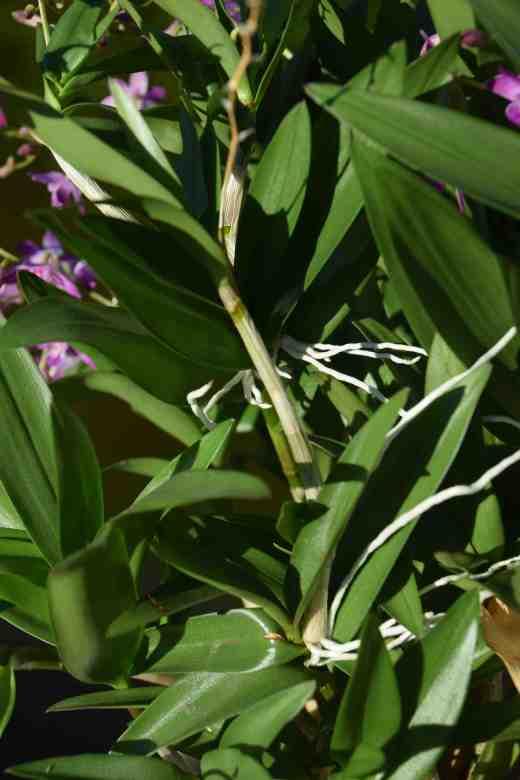dendrobium kingianum2