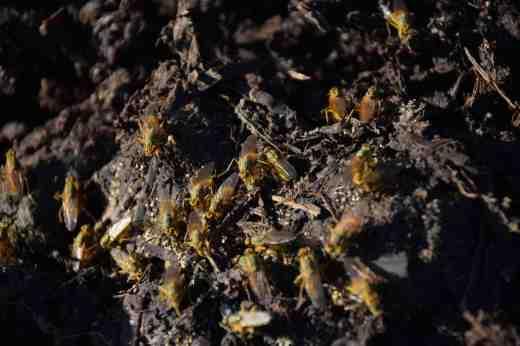 dung flies