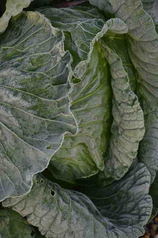A humble cabbage sparkles with its skin of ice