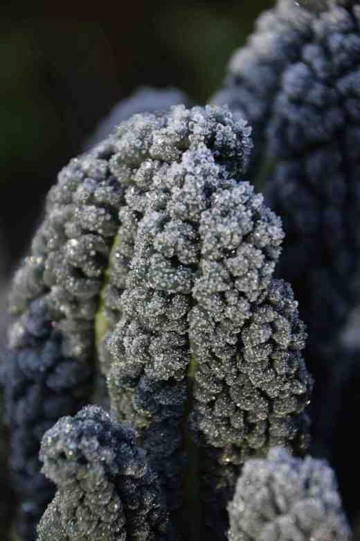 The corrugated leaves of black Tuscan kale exaggerate the frost and seem dipped in sugar like the tastiest doughnut