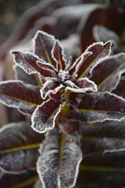 A humble, bolted lettuce is transformed from a failure to an ornament by frost
