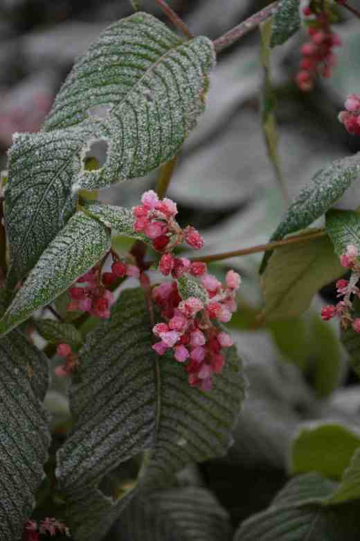 Persicaria highlighted by frost