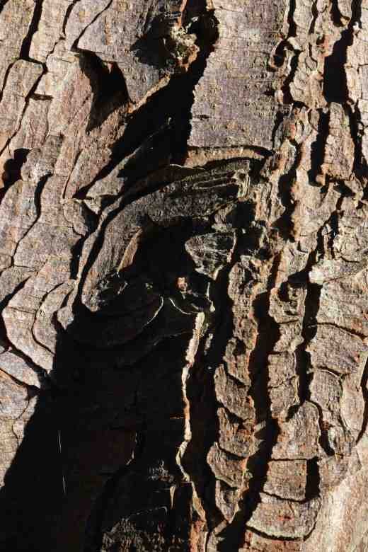 The distinctive bark of aesculus (horse chestnut)